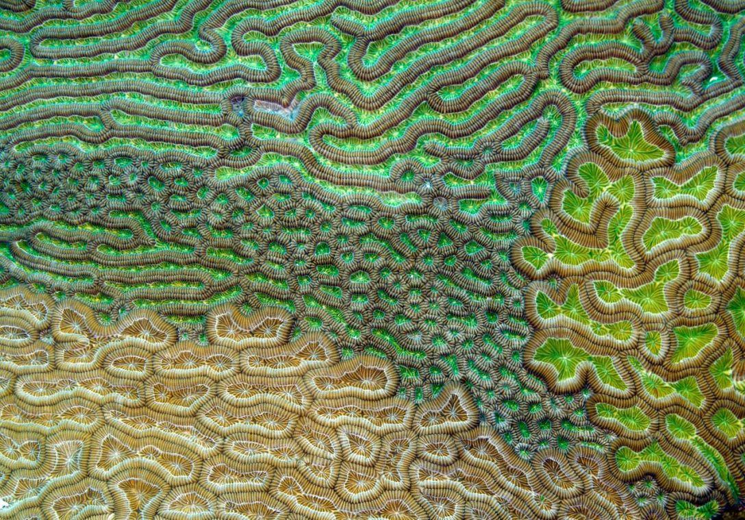 """Specjalne wyróżnienie - """"Karaibski koral mózgowy"""". Fotografia Amerykanina Evana D'Alessandro pokazuje cztery różniące się zdecydowanie strefy rafy koralowej, do złudzenia przypominające wygląd ludzkiej tkanki mózgowej."""