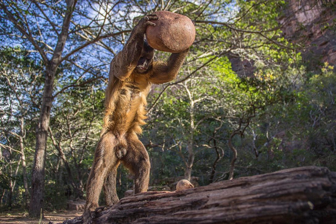 """Drugie miejsce w kategorii Zachowanie - """"Roztrzaskiwanie"""". Luca Antonio Marino z Włoch sfotografował kapucynkę używającą narzędzia (kamienia) do rozbijania skorup orzechów."""