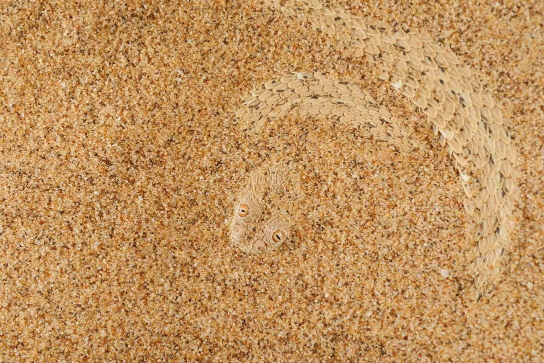 """Drugie miejsce w kategorii Biologia ewolucyjna - """"Piasek z łuskami"""". Zdjęcie Włocha Fabio Pupina przedstawia świetnie zamaskowaną żmiję na pustyni Namib."""