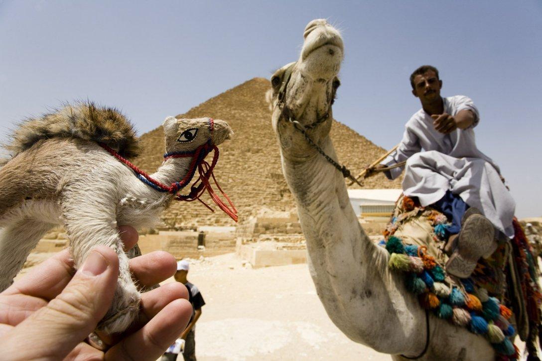 Wielbłądy pod piramidami w Gizie, Egipt