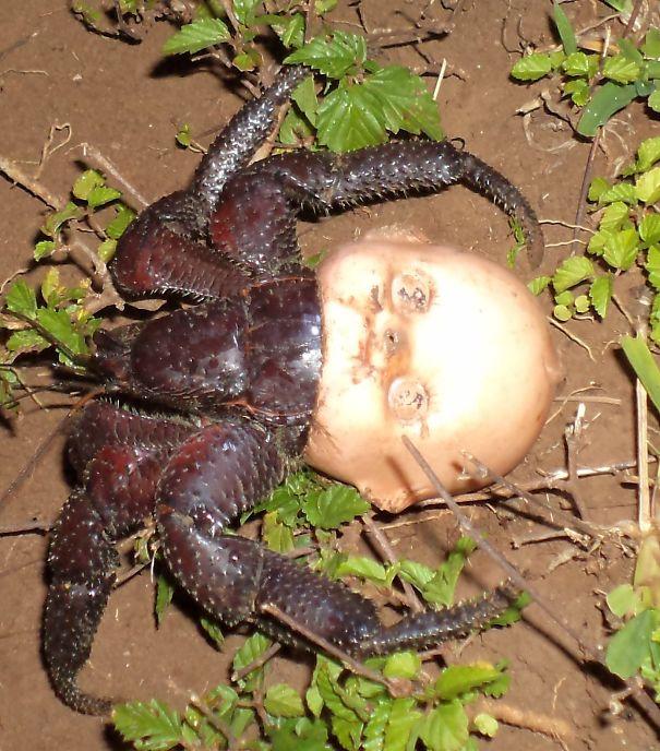 Krab pustelnik z muszlą zrobioną z głowy lalki.