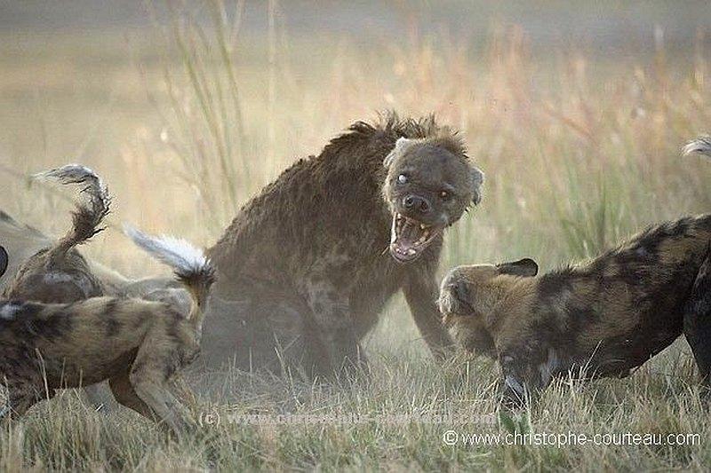 Hiena osaczona przez likaony.