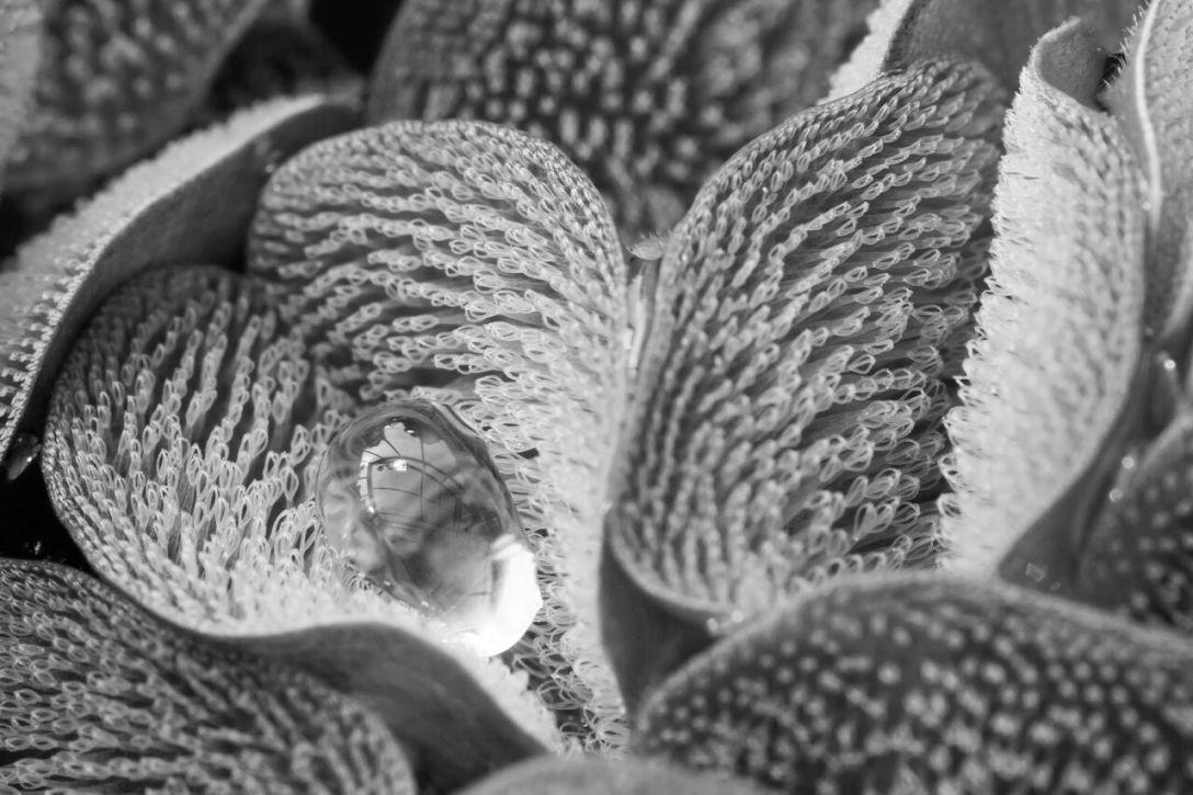 """Zwycięzca w kategorii Biologia ewolucyjna - """"Odpychająca paproć"""". Praca autorstwa Brytyjczyka Ulrike Bauera przedstawia jeden z gatunku salwiniowców (rząd paproci wodnych), którego liście pokryte są małymi włoskami odpychającymi wodę."""