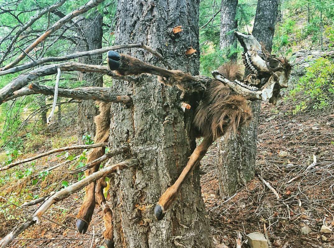 Łoś przygwożdżony do drzewa przez lawinę.