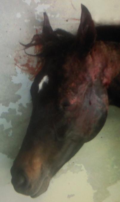 Zwierzęta nie mają też łatwo również na planach seriali. Powyżej zdjęcie śmiertelnie rannego w głowę konia występującego w skasowanej produkcji HBO Luck