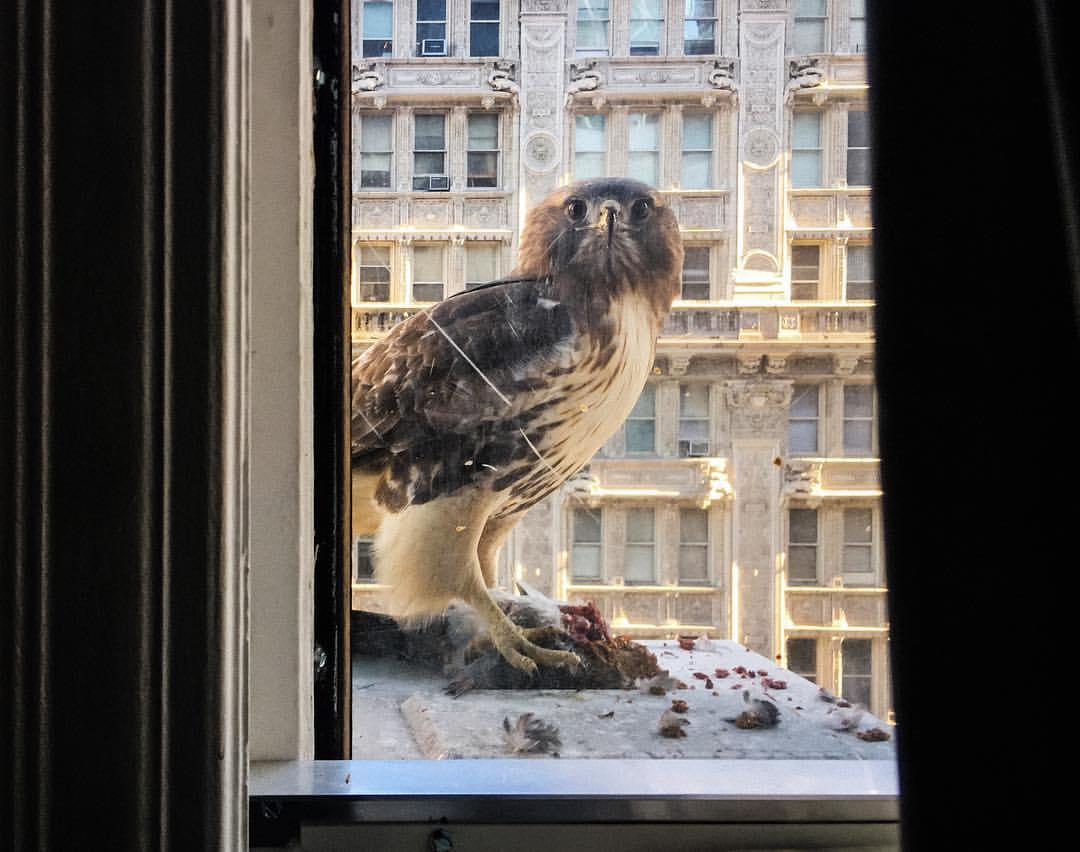 Jastrząb zajadający gołębia za oknem w kamienicy w Nowym Jorku.