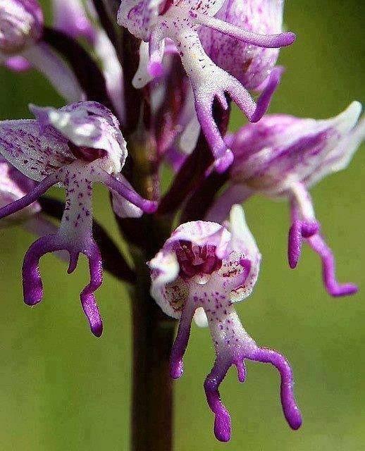 Naprawdę dzika orchidea.