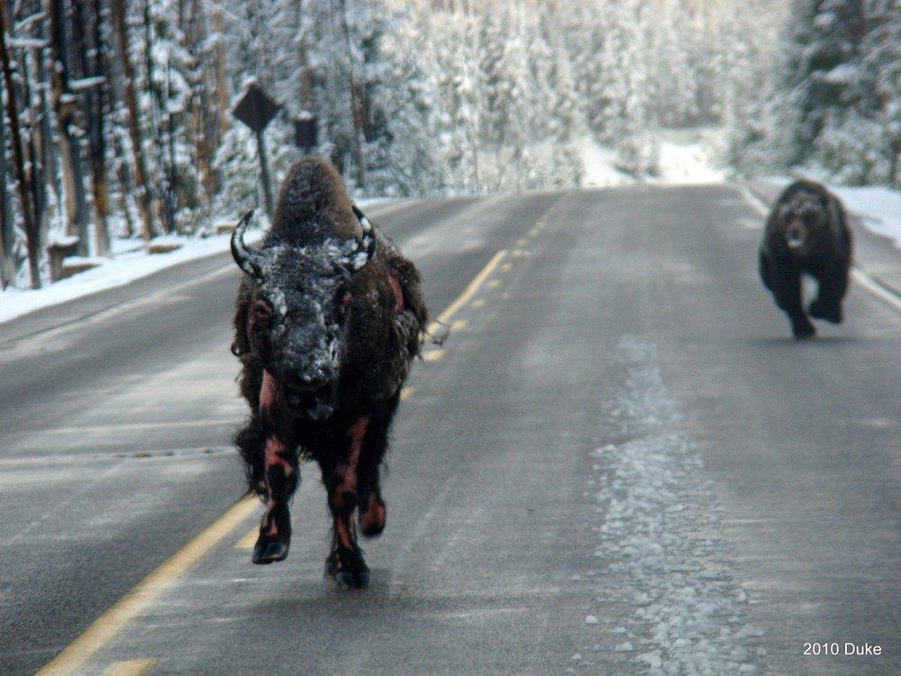 Bizon uciekający przed niedźwiedziem.
